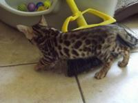 We have two litters of bengal kittens. The oldest