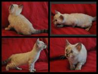 Beautiful Bengal Kittens for sale. Kittens are TICA