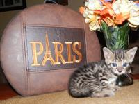We currently have several Bengal kittens that will be