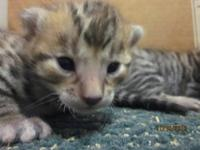 Beautiful Bengals kittens born sept 28 four leopard and