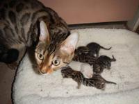 Purebred Bengals Kittens .three females two males two