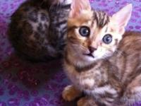 TICA registered Bengal kittens birthed 3/2/14, ready to