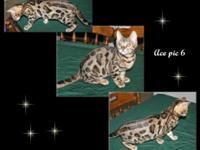 We have 2 rosetted Bengal kittens prepared to go to