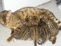 Stunning Bengal Kittens, UFO Registered, Raised