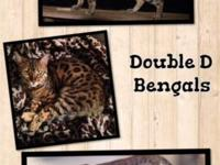 Bengal Kittens !! Fair rates, champion bloodlines, high