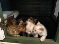 I have 7 gorgeous Tica bengal kittens for sale. brown