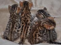 Show quality Bengals 2 female kittens available New