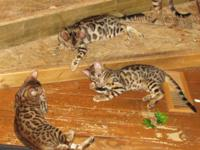 """TAZ"", ""TROOPER"" and ""TIGER"" are TICA registered BENGAL"