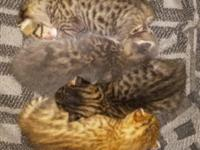 Bengal kittens born 5/18/15. $450 for males $500