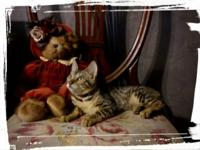 Bengal Kittens very loving nicely spotted, shots,