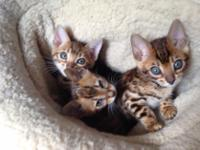 Animal Type: Cats cute and active Bengal kittens