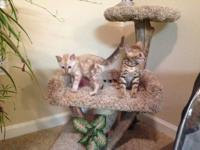 Registered Bengal kittens,10weeks old 1)Brown spotted
