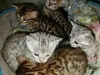 I have 5 male bengal kittens. Ready for new homes