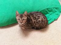 Tica registered brown spotted female bengals. UTD ready