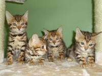 TICA Registered. Brown spotted kittens are beginning to