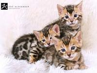 I have lots of Bengal kittens 7 weeks old brown