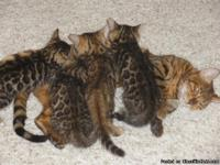Asian Leopard Bengal kittens 4 new litters on the way,