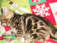 TICA Registered Bengal kittens 2 Black Bengal guys pet