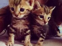TICA registered Bengal kittens available. I have one