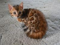 Beautiful TICA registered 10 week old Bengal kittens