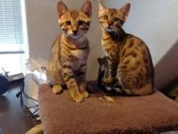 BRNGAL KITTENS BEAUTIFUL! I have 2 females s brown
