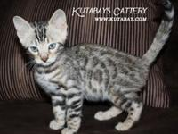 We have beautiful Bengal Kittens available! Brown and