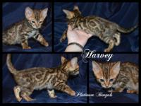 We have four gorgeous Bengal boys that are ready to go