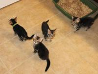 4 Brown Marble Bengal kittens, DOB 8-26-15 Can go home