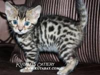 We have beautiful Bengal Kittens available to be