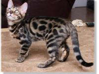 BENGAL KITTENS!! These beautiful bengals are derived