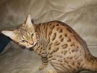 Beautiful and fantastic TICA papered Bengal kitties