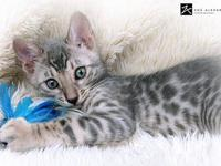 Asian Leopard Bengal kittens 8 weeks old and ready to