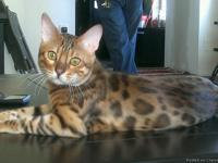 At Exotic Legends we breed and have Bengal kittens