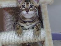 We have outstanding 9wk old pure bred bengal kittens