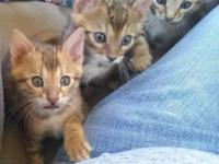 Lakebay Bengals is a small in-home cattery where all of