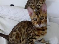 Bengal kittens with some stunning markings (photographs