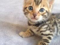 We have a litter of 4 boy Bengal kittens for sale. 2