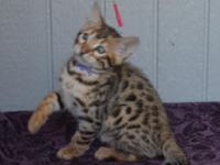 LeoZeeBah Bengals has stunning kittens available out of