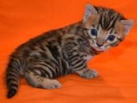 3 gorgeous bengal kittens that are TICA registered.