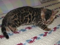 Bengal kittens raised in our home. We are registered