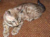 Registered Bengal Kittens. 4 males available. They have