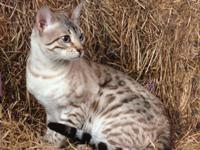 Bengal kittens for sale - 6 kittens , TICA registered