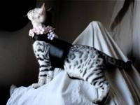 Bengal Kittens now available 9 weeks old TICA Supreme