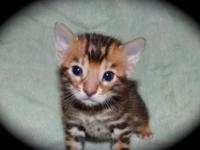 We have a few TICA registered bengals kittens available
