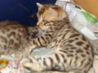 "TICA Bengal Kittens are right here at ""PJ Exotic"
