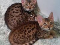 Gorgeous TICA registered male SBT Bengal kittens. F5.