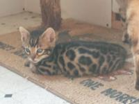 Stunning kittens for sale. Boys and girls available,