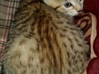 TICA. Registered Bengal kittens.They are 10 weeks old