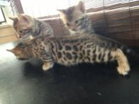 Proven breeding pair of registered Bengals. Both are