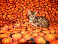 We have gorgeous Bengal kittens that will be ready for